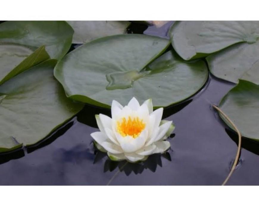 Lotus Yaprağı